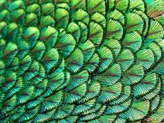 Peacocks attract mates with the repeating patterns in their plumage.
