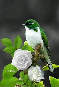 Green and white bird