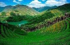 Taiwan - tea plantation