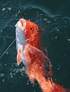 Red snapper fish getting caught in Destin, FL Usa Fishing, Fishing Girls, Sport Fishing, Gone Fishing, Pargo, Fishing Photos, Salt Water Fish, Red Snapper, Red Fish