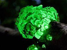 Científicos evidencian mecanismos de la bioluminiscencia fúngica