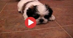 Videos Archives - Shih Tzu Buzz Small Puppy Breeds, Small Puppies, Shih Tzu Puppy, Shih Tzus, Cavalier King Charles, In This Moment, Cords, Haircuts, Website