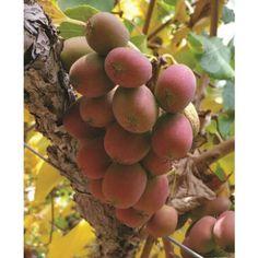 Hardy Kiwi 'Ken's Red' (Actinidia purpurea x melanandra)