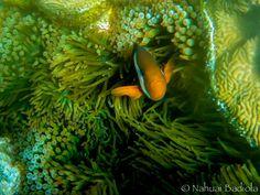 Nemo, pez payaso, Lady Elliot Island