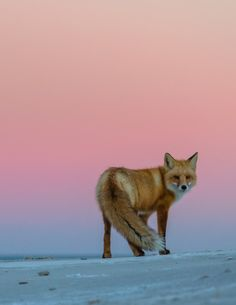 Red Fox - Red Sky by Darion Jackman  Just after sunset, Island Beach State Park, NJ.