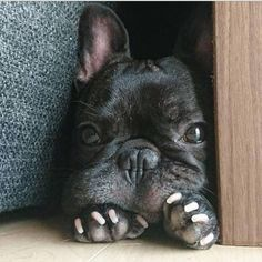 All About The Bright French Bulldog Pups French Bulldog Blue, French Bulldog Puppies, French Bulldogs, Cute Puppies, Cute Dogs, Dogs And Puppies, Doggies, Baby Animals, Cute Animals