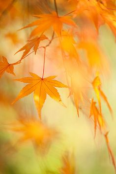 Maple Leaves!  If you need some landscaping done around your house or workplace, call Lawn Tigers Landscaping in Walled Lake, MI at (248) 669-1980 to schedule an appointment TODAY or visit our website www.lawntigers.net for more information!