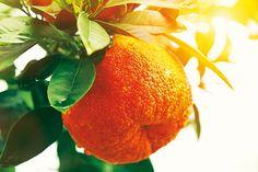 Ako prezimovať v záhrade citrusy Essential Oil Scents, Clean Beauty, Lemon Grass, Natural Skin Care, The Balm, Pure Products, Orange, Skincare, Relax