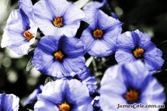 Beautiful blue petunia flowers in full bloom. Photographed by James Cole. Petunias, Light In The Dark, My Arts, Bloom, Backyard, Pure Products, World, Creative, Flowers