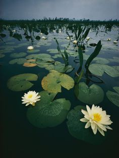 Water Lilies in the Swamp