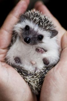 Cuddly Hedgehog