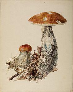 Fungi illustration by Beatrix Potter