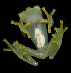 Los que sorprende es su parecido a la rana René...  Mírala por arriba