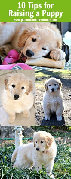 Top 10 Tips for Raising a Puppy! This information is helpful for new puppy parents.