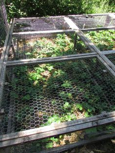 Protect strawberry plants from squirrels with a cage. Wooden frames covered with chicken wire lids