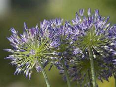 Gärtnerei Naturwuchs -- Allium -- Laucharten (H) -- Allium litvinovii --