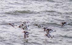 Oystercatchers in flight by shaungdavey #nature #mothernature #travel #traveling #vacation #visiting #trip #holiday #tourism #tourist #photooftheday #amazing #picoftheday