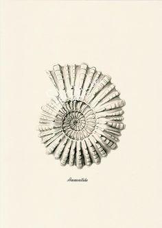 grey ammonitida