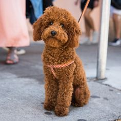 Red Poodle Miniature