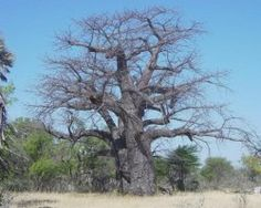 Baobab tree - Trunk with a circumference of 18.5 m,