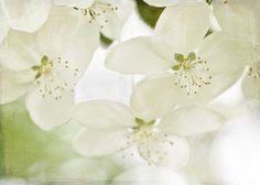 White Blooms spring shabby chic romantic for her women cream green pale faded light soft blossoms photograph - Fine Art Photography Print