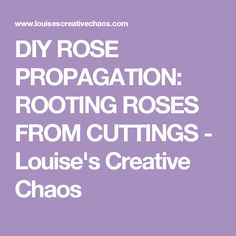 DIY ROSE PROPAGATION: ROOTING ROSES FROM CUTTINGS - Louise's Creative Chaos