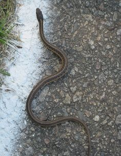 A garter snake. Harmless? Not to me. I'd run over any and everything to get away from it.