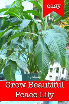 Grow Beautiful Peace Grow Beautiful Peace Lily an easy houseplant that is so powerful for purifying your indoor air. A great plant for beginners that want to add houseplants to their decor but Peace Lily do need specific care to grow beautifully. Hydroponic Gardening, Hydroponics, Indoor Gardening, Gardening For Beginners, Gardening Tips, Peace Lillies, Ti Plant, Apartment Plants, Interior Plants