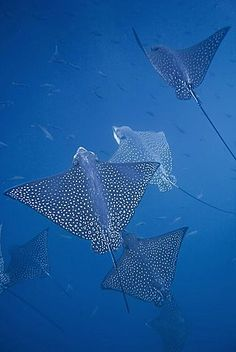 Spotted eagle ray (Aetobatus narinari) underwater at Leon Island off San Cristobal Island in te Galapagos Island Underwater Creatures, Underwater Life, Ocean Creatures, Underwater Photography, Animal Photography, Spotted Eagle Ray, Stingray Fish, Beautiful Sea Creatures, Galapagos Islands