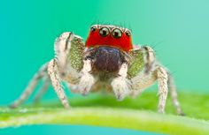 Do jumping spiders select their food based on its colour?