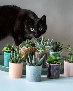 11 Succulents Safe for Cats Cat safe succulents Cat Safe House Plants, Houseplants Safe For Cats, House Plants Decor, Flowering Succulents, Cacti And Succulents, Delosperma Cooperi, Succulent Planter Diy, Succulent Care, Gardens