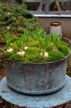 Forced bulbs spring flowers bulbs in a large planter garden ideas le .Forced bulbs spring flowers bulbs in a large planter garden ideas spring spring How to Create Sensational Pots and Planters Plan the structure Plan th. Garden Bulbs, Garden Planters, Spring Garden, Winter Garden, Bulb Flowers, Flower Pots, Cactus Flower, Container Plants, Container Gardening