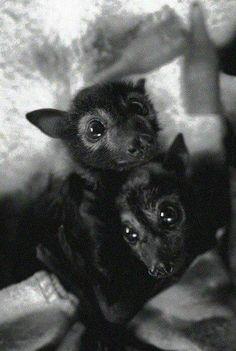 I want a fox bat! Cute Creatures, Beautiful Creatures, Animals Beautiful, Cute Baby Animals, Animals And Pets, Funny Animals, Hamsters, Baby Bats, Fruit Bat