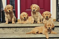Aww........five times the fun! <3 {Pet Photography} {Golden Retriever Puppies} {Dog}  {Puppy}