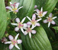 Tojen toad lily (Tricyrtis ' Tojen') bears unspotted lavender flowers in early…