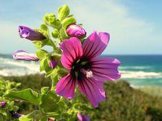 Pisces Shop - Hạt giống hoa: Hạt giống hoa Cẩm Quỳ + cách gieo hạt