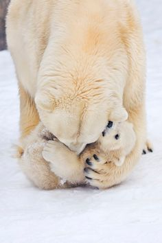 Polar Bear Hug...in the animal world polar bear females are amazingly nurturing, however when she has triplets -which is rare- she  has been known to abandon a slow one in order to insure the success of the other two.