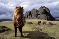 Dartmoor ponies in front of the famous Haytor Rock, Dartmoor, England. Photography © Ross Hoddinott.
