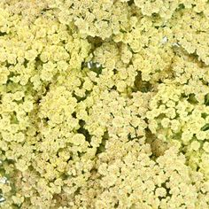 FiftyFlowers.com - Yarrow Cottage Yellow love the color