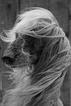 afghan hound hair