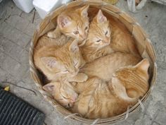 A basket of ginger cuties.