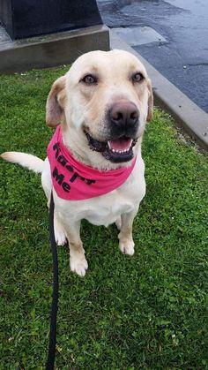 Labrador Retriever Dog For Adoption In San Diego CA ADN 483354 On PuppyFinder