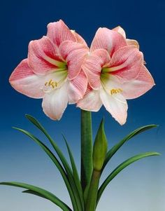 Apple Blossom Amaryllis, have two of these