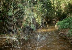 Scientists discover oral sexual encounters in spiders - https://scienceblog.com/483930/scientists-discover-oral-sexual-encounters-spiders/