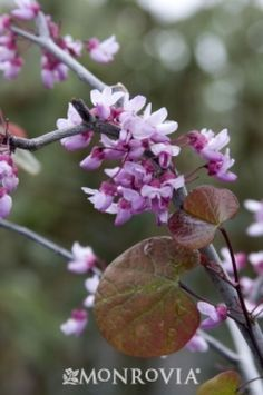 Forest Pansy Redbud