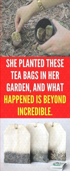 She Planted These Tea Bags in Her Garden, And What Happened is Beyond Incredible Natural Health Tips, Natural Health Remedies, Health And Beauty Tips, Herbal Remedies, Health Facts, Health Diet, Health And Nutrition, Health And Fitness Expo, Health And Fitness Articles