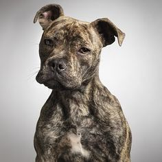 Visit us at http://pitfriendzy.com and post pics of your #pitbull #dogs