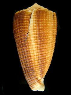 CONIDAE SULCATUS SULCATUS ASPRELLA