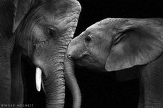 Noir et blanc : Des portraits d'animaux saisissants ! Photo Elephant, Elephant Love, Elephant Pics, Animals And Pets, Baby Animals, Cute Animals, Exotic Animals, Beautiful Creatures, Animals Beautiful