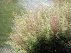 Calamagrostis brachyticha • diamond grass • organic